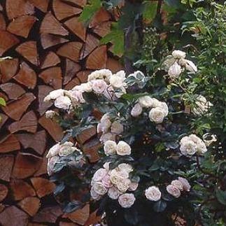 rosiers grimpants rosiers modernes rosiers lianes. Black Bedroom Furniture Sets. Home Design Ideas