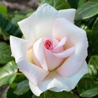 Rosiers grimpants rosiers modernes rosiers lianes - Quand tailler les rosiers buisson ...